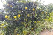全国橙类产量锐减原因几何?未来脐橙产业该何去何从?