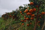 探访柑橘新品武鲜柑