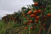 武宣新品种武鲜柑成为5月上市的明星品种