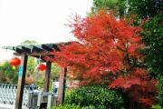 上海金秋红叶大赏,静谧自然,不能错过!就在海湾国家森林公园!